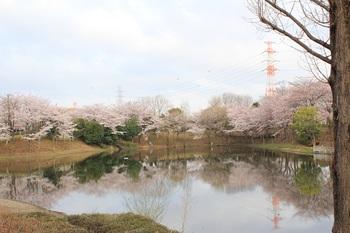 sakurasaku_7.jpg